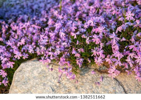 Close-up of a blooming plant of Phlox: its name derives from the Greek word 'phlox' meaning 'flame', in reference to the intense flower colors of some varieties, Italy