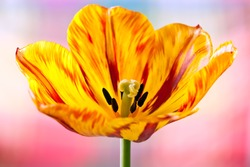 Close-up of a blossomed coloured tulip with coloured background
