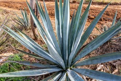 Close-up of a blue agave plant, green hard leaves, agricultural plantation in a rural field, plant with which the tequila alcoholic drink is made, sunny day in Amatitlán, Jalisco, Mexico
