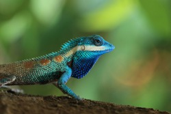 Close up of a Blue Crested Lizard or Calotes Mystaceus in Thailand