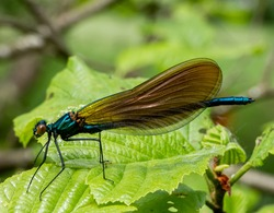 Close up of a blue Damsel Fly on a leaf, natural image of this beautiful insect. Damselflies or Zygoptera living near water with delicate lacey wings and bright colours.