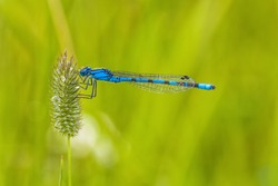 Close-up of a blue damselfly holding onto grass seed.
