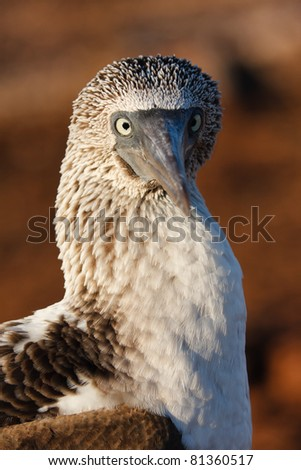 Close-up of a blue-footed booby