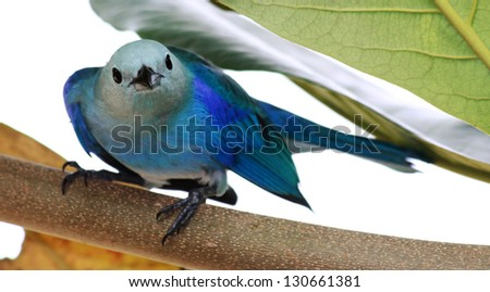 Close-up of a Blue-grey Tanager (Thraupis episcopus)