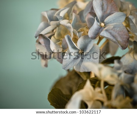Close-up of a blue hydrangea plant  in retro style
