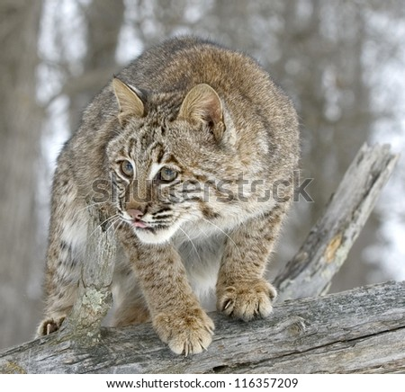 Close up of a bobcat on fallen tree in Northern Minnesota