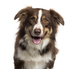 Close up of a Border Collie sticking the tongue, looking at the camera, with happy expression