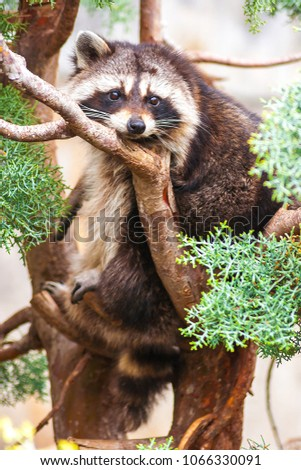 Close-up of a Boreal Raccoon (Procyon Lotor). Family Procyonids. Carnivorous mammal. He observe us with attentive and calm look while we take the photography, posing for the camera, resting on a tree