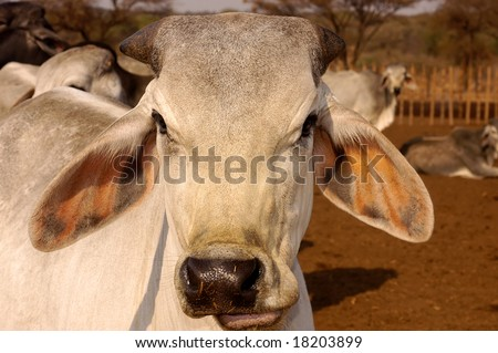 Close up of a Brahman just after feeding time