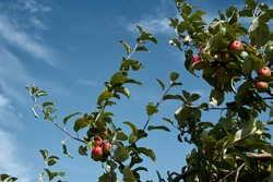 close-up of a branch of an apple tree with red apples. High quality photo