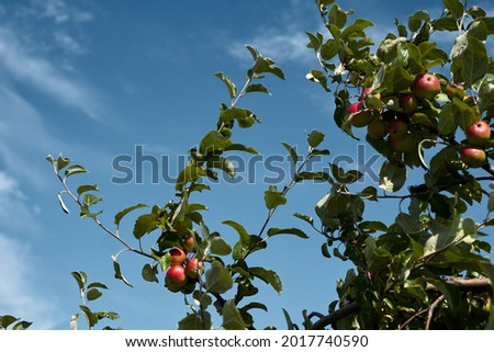 close-up of a branch of an apple tree with red apples. High quality photo Stock foto ©