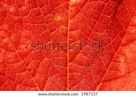 Close up of a brightly colored red ivy leaf
