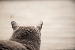 Close up of a British Short hair Cat looking out to a garden in a house in Edinburgh City, Scotland, UK
