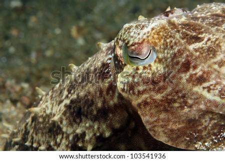 Close-up of a Broadclub Cuttlefish (Sepia Latimanus), Lembeh Strait, Indonesia