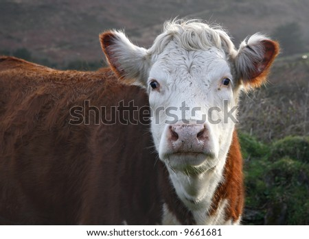 Close up of a brown and white cow.