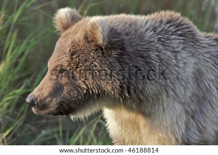 Close up of a brown bear cub in the wild