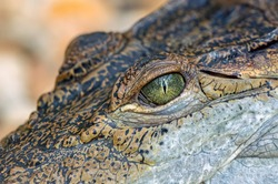 close up of a brown crocodile with green eye