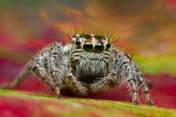 close up of a brown eyes jumping spider on a colorful sky background