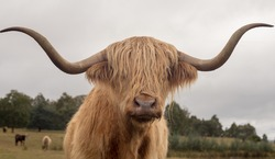 Close-up of a brown Highland bull with long and curved horns and a long fringe of hair