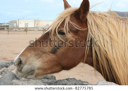 Close up of a Brown Horse Near a Rocks in the Land of Fuerteventura (Fuerteventura, Canary Islands, Spain)
