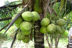 Close-up of a brown-husked coconut tree with a bunch of young and fresh green coconuts in an agricultural plantation.