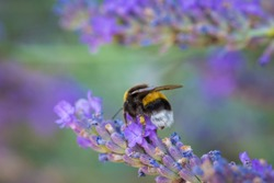 Close up of a bumble bee pollinating in a lavender field. selective soft focus