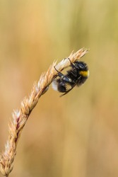 Close up of a Bumblebee asleep on a grass stem in a meadow with a plain straw-coloured background and copy space.