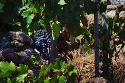 Close-up of a bunch of grapes in a winery where