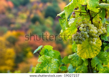 close up of a bunch of grapes in autumn ( mosel region germany)