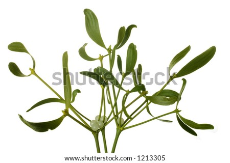 Close-up of a bunch of mistletoe (Viscum album) with berries, isolated on a white background