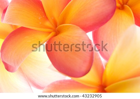 close up of a bunch of vibrant frangipani flowers