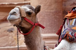 Close-up of a camel in Petra waiting in front of the treasure house for tourists who want to ride on it, in Jordan