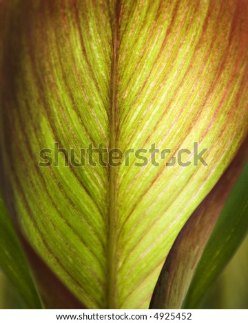 Close-up of a Canna Plant Leaf.  Shallow Depth of Field.