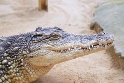 Close up of a captive nile crocodile (Crocodylus niloticus)