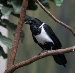 Close up of a captive Pied Crow.  A bird of Africa.