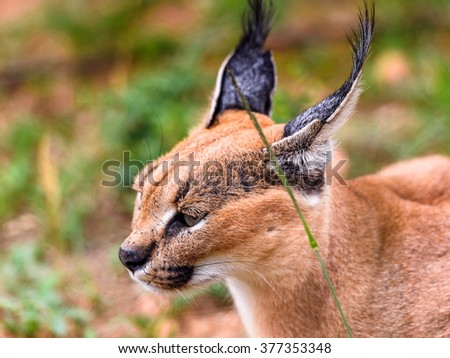 Close up of a caracal at the Naankuse Wildlife Sanctuary, Namibia, Africa #377353348