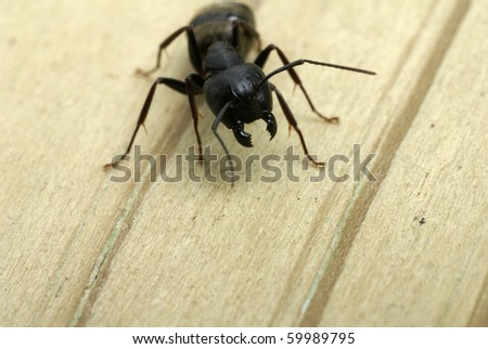 Close-up of a carpenter ant ready to attack with it's jaws
