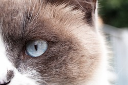 close up of a cat face.  beautiful blue eye of a seal-point cat. look