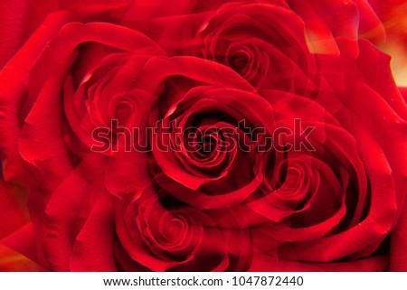 """Close-up of a Caucasian red rose """"Niccolo Paganini"""" with twisted petals in five sectional reflection                               #1047872440"""