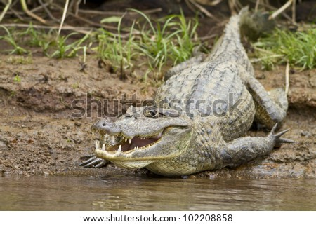 Close up of a cayman (Caiman crocodilus fuscus) , Cano Negro reserve, Alajuela, Costa Rica