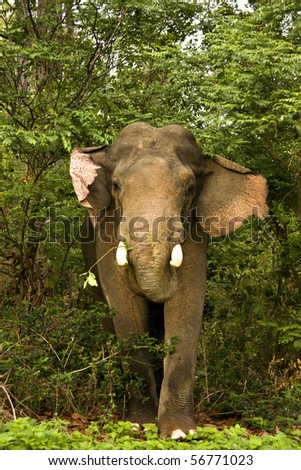 Close up of a charging male tusker elephant - stock photo