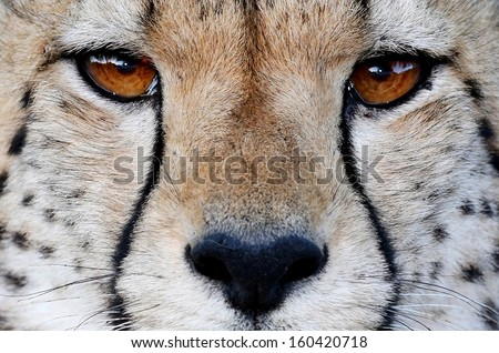Close up of a Cheetah wild cat's striking brown eyes and black nose #160420718