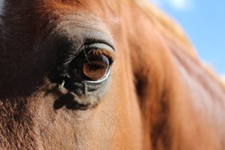 Close up of a chestnut horse eye