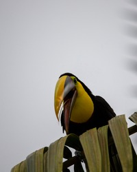 Close-up of a Chestnut-mandibled toucan species - Swainson's toucan resting on a tree in its habitat, Uvita, Costa Rica.
