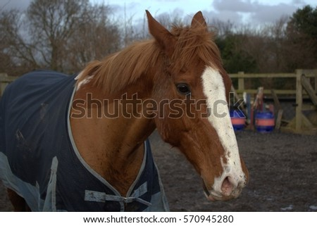 Close up of a chestnut thoroughbred horse wearing a blanket in the arena #570945280