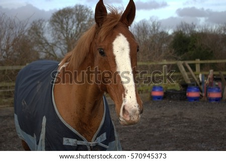Close up of a chestnut thoroughbred horse wearing a blanket in the arena #570945373