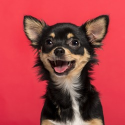 Close-up of a Chihuahua in front of a pink background