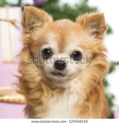 Close up of a Chihuahua in front of Christmas decorations against white background