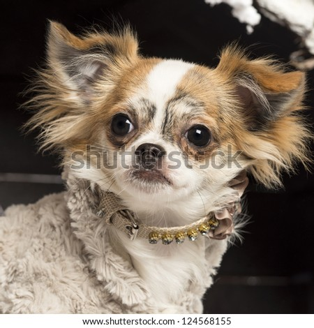 Close up of a Chihuahua in front of Christmas nativity scene with Christmas tree and snow