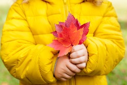 Close-up of a child a girl in a yellow jacket holding red leaves in a Park on a warm autumn day. Children outdoors, Hiking with  family in the fall